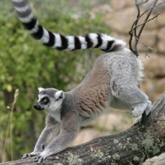 Les Makis de Madagascar