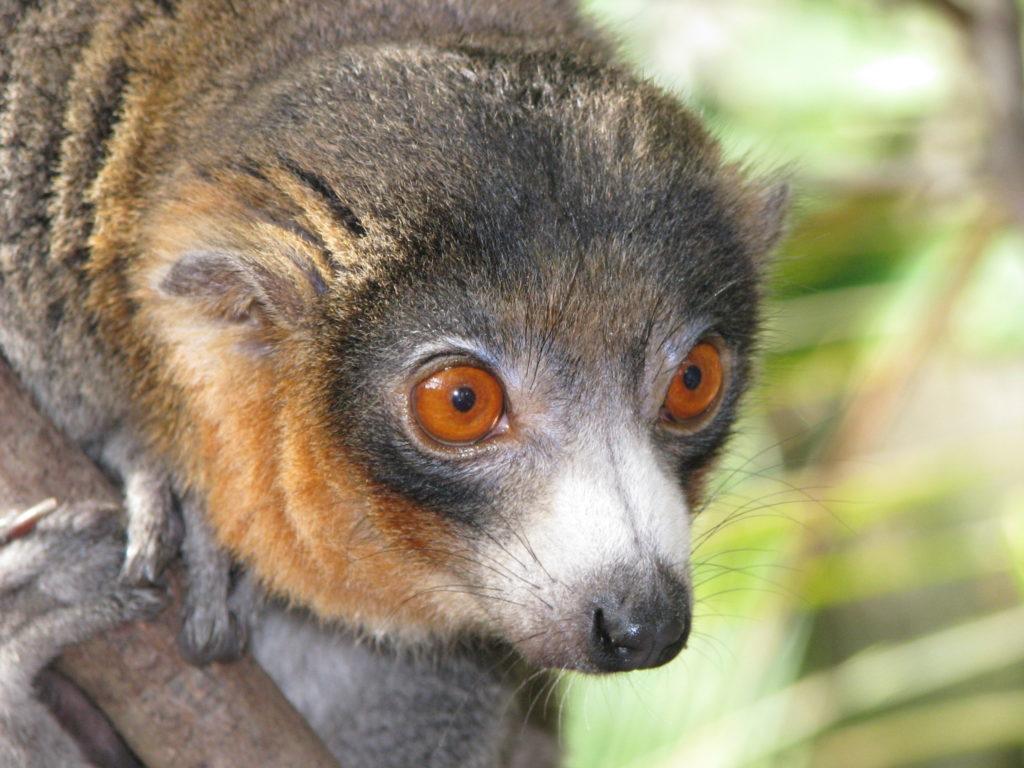 Les makis et les lémuriens endémiques de Madagascar